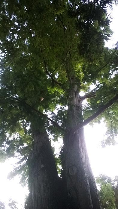 Sequoia1 1